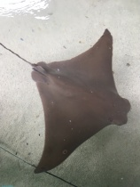Stingray in Tampa